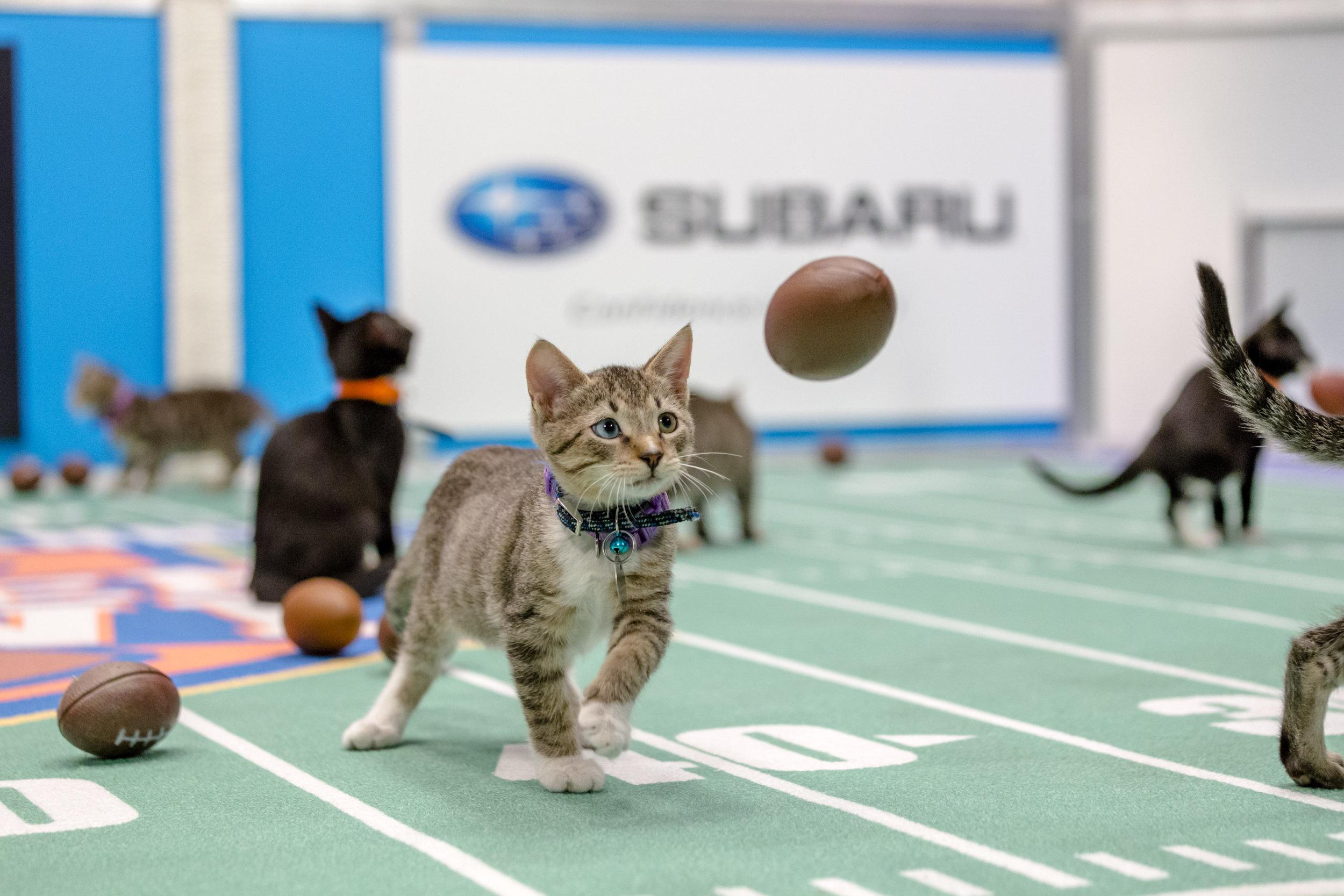 Kitten Bowl See the Cutest Kittens on TV